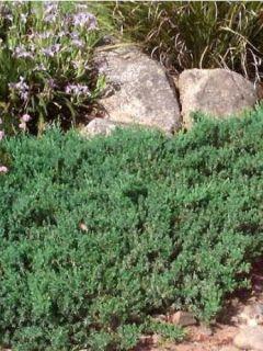 Juniperus conferta Blue Pacific - Genévrier des plages