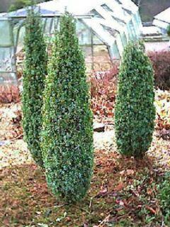 Genévrier commun nain - Juniperus communis Compressa