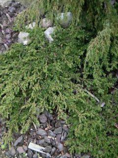 Juniperus communis Green Carpet - Genévrier commun
