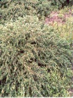 Juniperus communis Repanda - Genévrier commun.