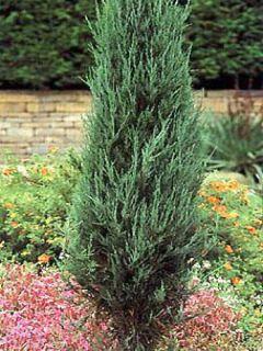 Juniperus scopulorum Skyrocket - Genévrier de Virginie