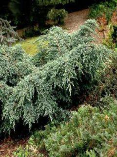 Juniperus squamata Blue Carpet - Genévrier écailleux