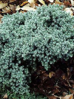 Juniperus squamata Blue Star - Genévrier écailleux