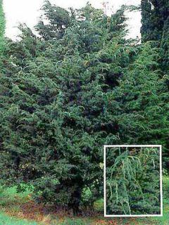 Juniperus squamata Meyeri - Genévrier écailleux.