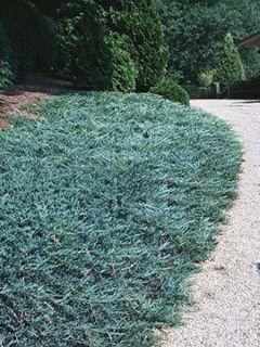 Juniperus horizontalis Blue Chip - Genévrier rampant