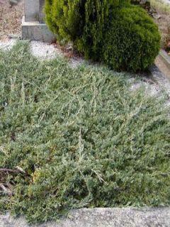 Juniperus horizontalis Wiltonii - Genévrier rampant