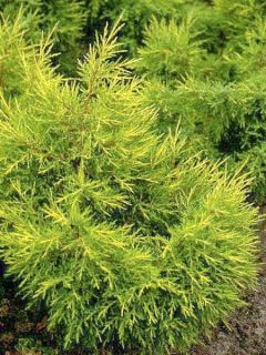 Juniperus chinensis Kuriwao Gold - Genévrier hybride