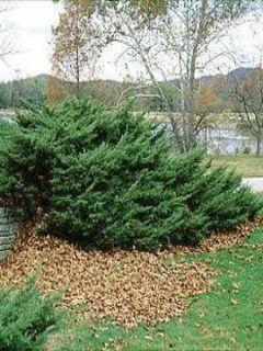 Genévrier de Pfitzer - Juniperus pfitzeriana