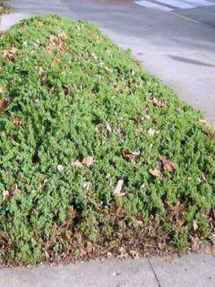 Juniperus procumbens Nana - Genévrier rampant