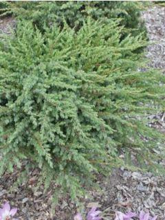 Genévrier des plages - Juniperus conferta Schlager