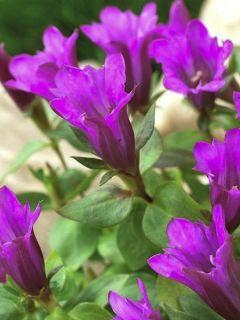Gentiana Little Pinkie - Gentiane hybride.