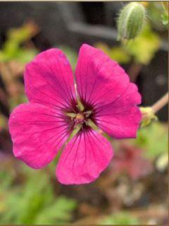 Géranium cinereum v. subcaulescens Giuseppii