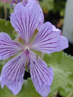 Géranium vivace à feuilles de crèpe 'Tcschelda'