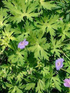 Géranium vivace 'Blue Sunrise'®