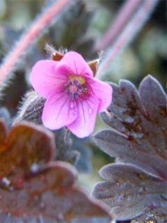 Geranium vivace Bob's Blunder - Géranium vivace rose pâle, feuillage brun argenté