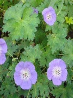 Géranium vivace 'Buxton's Variety'