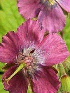 Géranium monacense Claudine Dupont