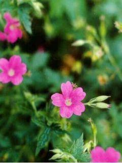Géranium vivace endressii Beholder s Eye - Géranium vivace d'Endress rose foncé