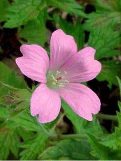Géranium vivace endressii Wargrave Pink