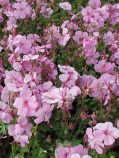 Géranium vivace dalmaticum Bressingham Pink - Géranium vivace de Dalmatie rose