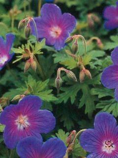 Géranium vivace de l'Himalaya 'Gravetye'