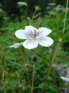 Géranium vivace richardsonii - Géranium vivace de Richardson