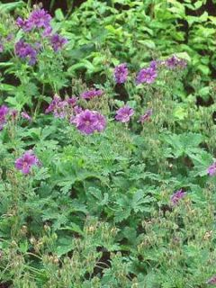 Géranium vivace sylvaticum Birch Lilac - Géranium des bois lilas