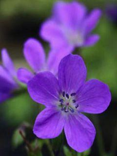 Géranium vivace sylvaticum Bridget Lion - Géranium vivace des bois bleu foncé