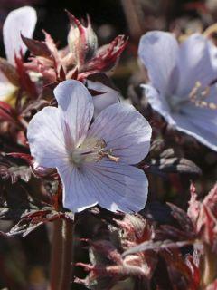 Géranium vivace des près 'Black'n white Army'
