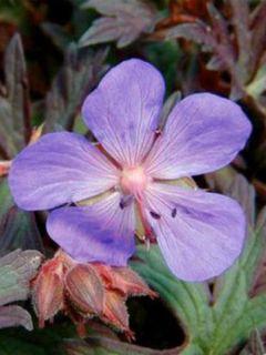 Géranium vivace pratense Hocus Pocus - Géranium des prés