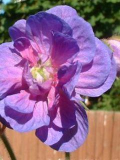 Géranium vivace pratense Plenum Violaceum
