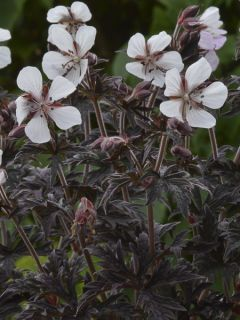 Géranium vivace pratense Purple Ghost - Géranium vivace des près blanc.