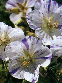 Géranium vivace des près 'Splish Splash'