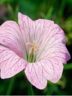 Géranium vivace oxonianum Hollywood