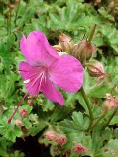 Géranium vivace cantabrigiense Karmina