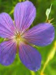 Géranium vivace clarkei Kashmir Blue - Géranium de Clark bleu