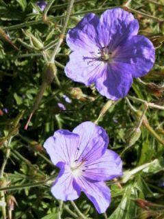 Géranium vivace clarkei Kashmir Purple - Géranium de Clark rose lilas