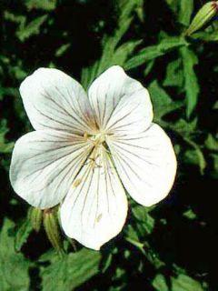 Géranium vivace clarkei Kashmir White - Géranium de Clark blanc