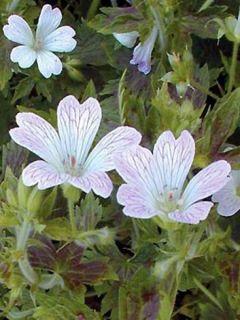 Géranium vivace oxonianum Katherine Adele - Géranium vivace