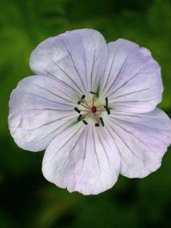 Geranium vivace Lilac Ice - Geranium wallichianum