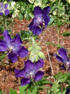 Géranium vivace phaeum Lily Lovell