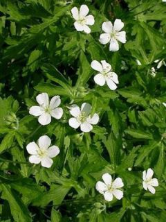 Géranium vivace maculatum Album - Géranium vivace maculé blanc