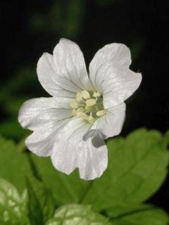 Géranium vivace nodosum Silverwood - Géranium vivace noueux blanc