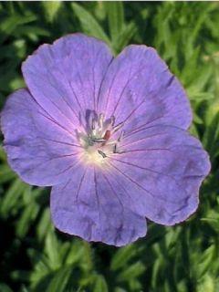 Géranium vivace 'Orion'