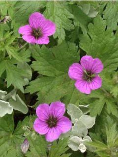 Géranium vivace psilostemon Bressingham Flair - Geranium vivace rose magenta doux à coeur et veines noires.