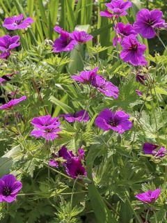 Geranium vivace psilostemon JS Ma Tu Vu