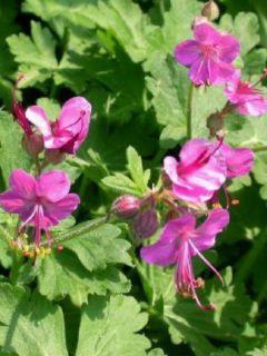 Géranium macrorrhizum Bevan s Variety