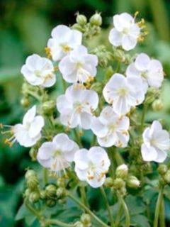 Geranium vivace macrorhizum White Ness - Géranium à grosse racines, à fleurs blanches.