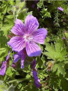 Géranium vivace magnificum Rosemoor - Géranium vivace hybride bleu