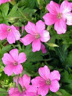 Géranium vivace oxonianum Rosenlicht - Géranium vivace rose